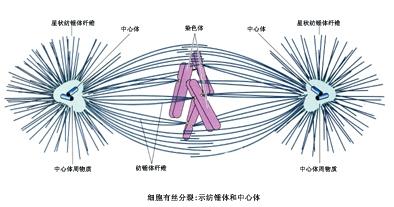 驱动蛋白马达结构图