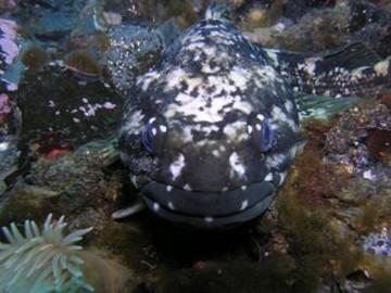科学家在南极发现会冬眠的鱼