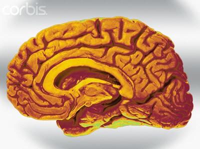 爬行动物的大脑