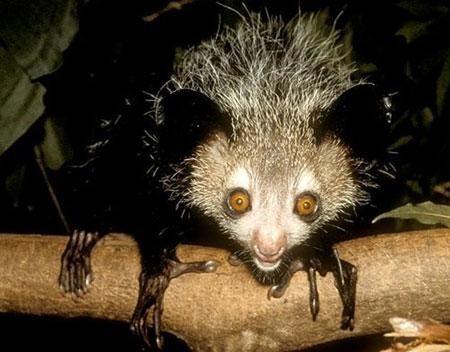 可怜的指狐猴,在全球最丑动物排行榜上,是上榜频率最高的动物之一
