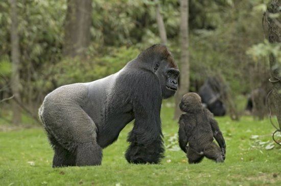 品:西部低地银背大猩猩