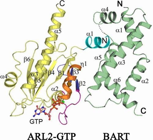 结构与功能的关系,阐释arl家族成员之间,以及与其它小g蛋白的功能差异