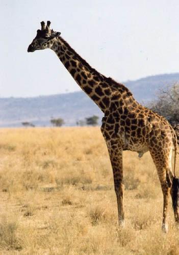 长脖子还有助于长颈鹿够到别的动物更难