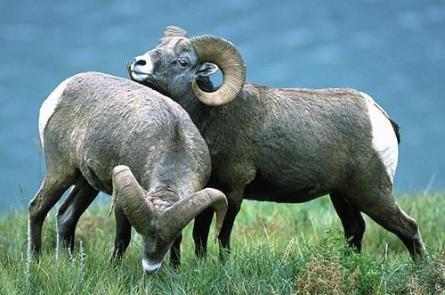美研究发现动物同性行为或有助其社会行为进化