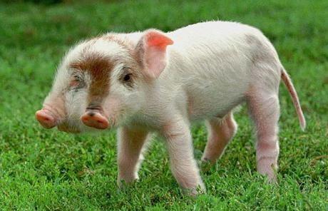 十大奇异动物盘点:美国出现双头猪